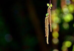 Birke 花粉症